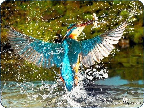 Зимородок держит в клюве рыбу, предназначенную птенцам.