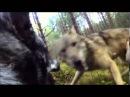 Бой охотничей собаки с двумя волками
