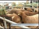 Разведение овец Гиссары Кубань 10 09 15 Овцевод Камалов