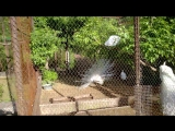 Павлины в Пензенском зоопарке, часть 2
