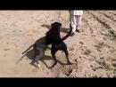 Собачьи бои гуль терьер vs гуль терьер Х питбуль (Ренч)