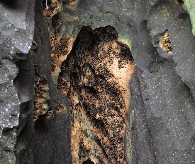 Летучие мыши имеются во множестве пещер в юго-восточной Азии. Висят на потолках и стенах. Внизу под ними обычно очень много ихнего говна, иногда кучи могут быть глубиной до метра.