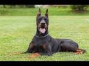 Доберман- собака телохранитель