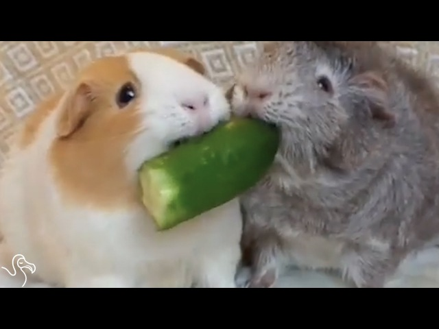 Guinea Pig Wont Share Her Snacks With Anyone