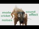 The Animal Sounds: Mole Cricket Noises - Sound Effect - Animation