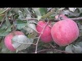 мой цветущий яблоневый сад
