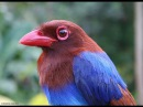 Цейлонская лазоревая сорока/ Ceylon Magpie (Urocissa ornata)