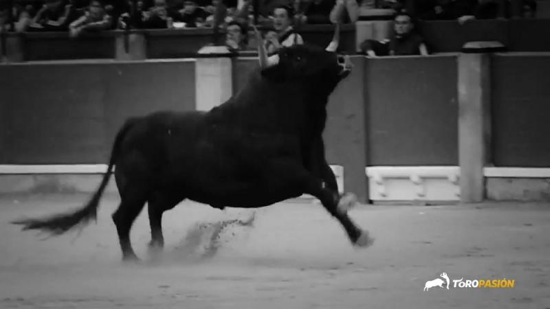 Defiende tu amor por el toro bravo Gracias a TORO PASION