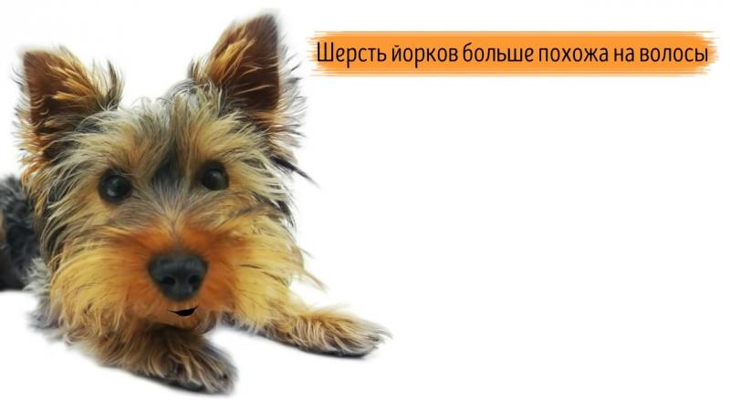 Йоркширский терьер, йорк - породы собак