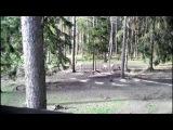 Кабаны прогоняют оленей