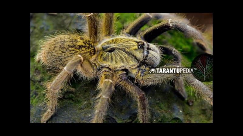 A very rare horned baboon spider - Ceratogyrus dolichocephalus