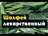 Шалфей лекарственный (убираем и сушим шалфей)