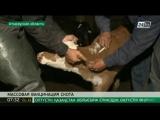 В Атырауской области приступили к вакцинации скота от сибирской язвы