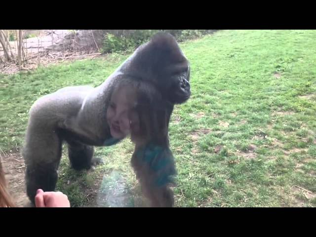 Огромная горилла пугает посетителей зоопарка   Angry gorilla ░░░░░░░░░░░МАМиЯК░░░░░░░░░