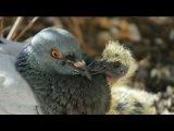 Голуби - Птенцы голубей - Промокшие птенцы, непрошеный гость, свидание - Голубина ...