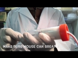 How to do intravenous tail injection in mouse
