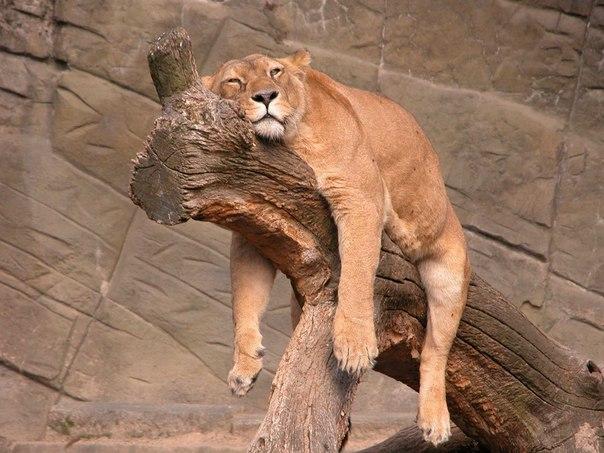 Львица лениво растянулось на сухой коряге