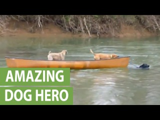 Heroic Labrador rescues two dogs trapped in canoe