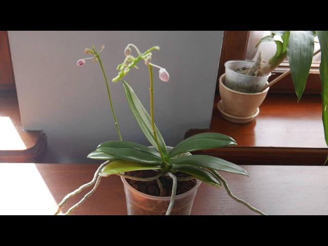 Орхидея Следующая серия видое обзор растений от Швертера