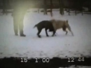 Собачьи бои американский бульдог Пилат vs САО алабай ч. 1