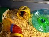 Мышка в колесе бегает - сатиновая кудрявая мышь