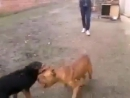 Собачьи бои ягдтерьер VS питбуль