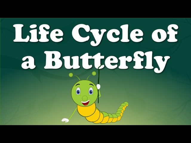 Life Cycle of a Butterfly | aumsum kids education lifecycle butterfly