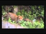 Городские лисята играют в саду.  Baby foxes playing in the garden