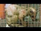 Живую ЧУПАКАБРУ поймали В Китае. Чупакабра в клетке
