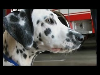 Переводчик с собачьего. «Пожарная собака». «Кровь, пот и слезы».