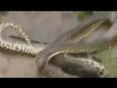 Анаконда против крокодила!