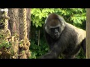 BBC News, 31 March 2016: How do you bring up a baby gorilla