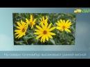 Посадка топинамбура - как правильно посадить топинамбур