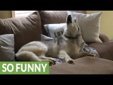 Stubborn Husky is a lazy couch potato