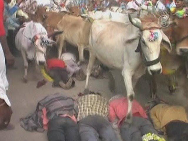Коровы бегут по спинам