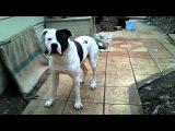 Американский бульдог / American Bulldog