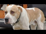 АЛАБАЙ - МОНСТР.  Monster. Central Asia Shepherd Dog Туркменский Волкодав Одесса.