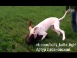 Bully Kutta puppy VS Rottweiler (Булли кутта ротвейлер Тест собачьи бои)