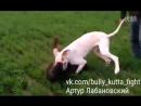 Bully Kutta puppy VS Rottweiler Булли кутта ротвейлер Тест собачьи бои
