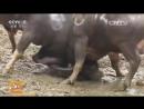 Смертоносные конкурсы Бои животных молодые жеребцы, волы, бараны, петухи в провинции Гуйчжоу.