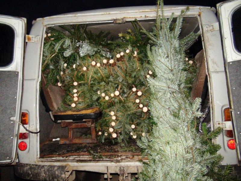 В Зеленчукском районе браконьер вырубил 92 молодых деревца кавказской пихты