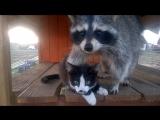 Дружба енота и кота