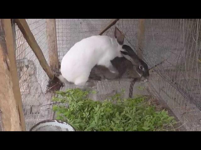Как разводить кроликов. Спаривание кроликов после окрола