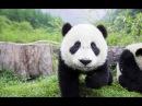 Про медведя! Смешные медведи Панда немного хулиганит! Приколы С Животными!