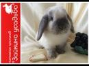 Пьер Мини кролик Голубой сиамский окрас Нидерландский карликовый кролик баран NHD Фото видео