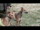 Охота с борзыми Ставропольские краевые состязания собак борзых пород 2015г