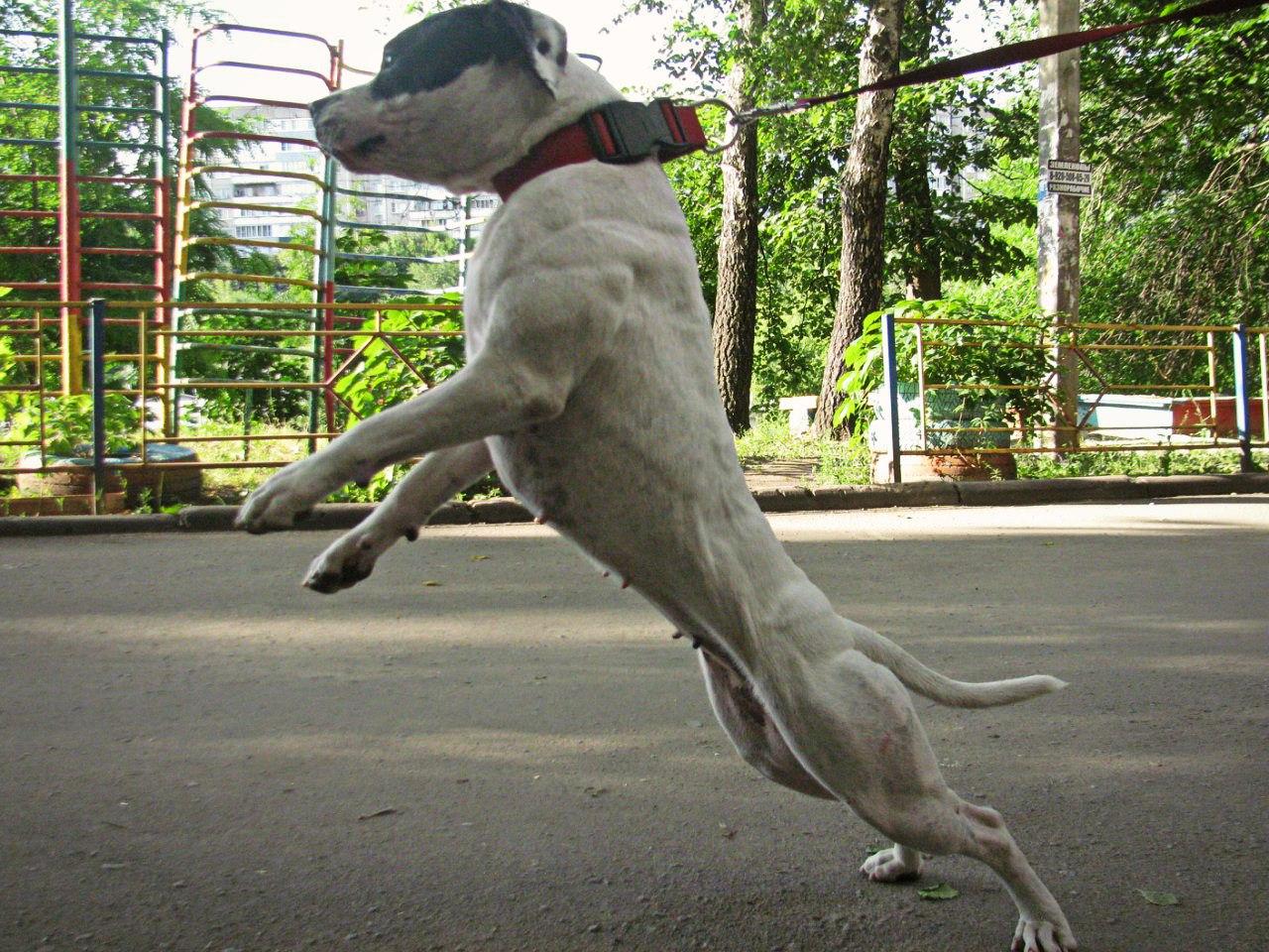 Питомник питбультерьеров Dog Arena I8v8e6_S-kY