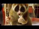 Distraction: Slow loris eats a rice ball