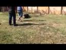 Собачьи бои Питбуль Тоги vs Джеки (метис ягдтерьер) хз