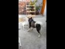 Собачьи бои миниатюрный бультерьер vs аляскинский маламут